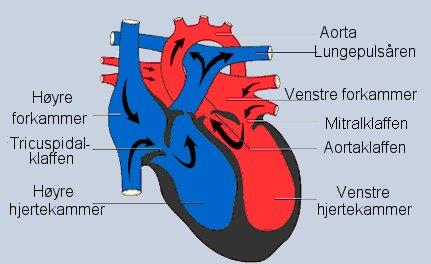 Hjertets kretsløp